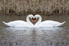 Rodney can shapeshift, so he can turn into a swan, and Kate's father is a son of Apollo. One of Apollo's sacred animals is a swan, so Kate can turn into a swan as well. Swan Love, Beautiful Swan, Beautiful Birds, Animals Beautiful, Simply Beautiful, Pretty Birds, Love Birds, Animals And Pets, Cute Animals