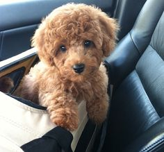 Wilson's first bath! mini apricot poodle