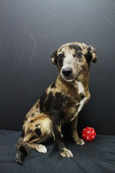 #TEXAS ~ Anna ID A036848 is a Catahoula in need of a loving #adopter / #rescue at the KURTH MEMORIAL ANIMAL SHELTER  1901 Hill St  #Lufkin TX 75901 aramsey@cityoflufkin.com Ph 936-633-0218
