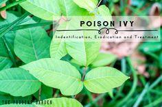 Poison Ivy  Identification Eradication and Treatment