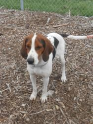 Elmer is an adoptable Treeing Walker Coonhound searching for a forever family near Fremont, OH. Use Petfinder to find adoptable pets in your area.