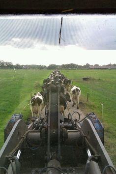 Koeien op halen voor het melken