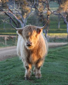 Scottish Highland Cattle in NSW Australia Very quiet - Brushable in the paddock. Got to love these highland cattle! www.ennerdalehighlands.com