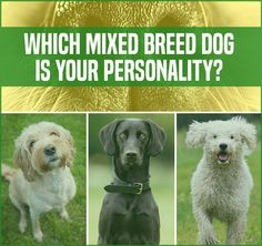Which Mixed Breed Dog Is Your Personality  You got: Poovanese (Poodle + Havanese)  People would describe you as a loving, caring, and compassionate person. Like a Poovanese, you feel happy sharing affection to your friends and loved ones. Adorable!