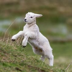 That is one Joyous sheep. This is how I felt after being healed and washed clean. Baby Sheep, Sheep And Lamb, Farm Animals, Animals And Pets, Cute Animals, Beautiful Creatures, Animals Beautiful, Baby Goats, Mundo Animal