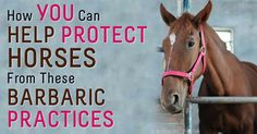 The Prevent All Soring Tactics (PAST) Act and the Horse Transportation Safety Act are two new bills that can help protect horses when passed. http://healthypets.mercola.com/sites/healthypets/archive/2014/11/18/horse-protection-act.aspx