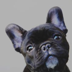 Flashback baby trev!.#trev #frenchbulldog #french #bulldog #puppies #puppy #cute #newaddition #baby #Kingstonjewellery #frenchbulldogpuppy #cray #frenchbulldogsofinstagram #frenchieclub #fab_frenchies #frenchie #fancy_frenchies #dailypuppy #puppysofinstagram #puppytags @kingstonjewellery