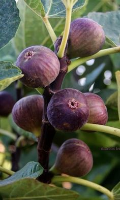 Fig Fruit, Fruit Plants, Fruit Garden, Fruit And Veg, Fruit Trees, Fruits And Vegetables, Fresh Fruit, Exotic Fruit, Tropical Fruits