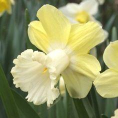 Daffodil 'Galactic Star' Narcissus