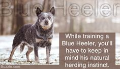 Blue heeler training tip