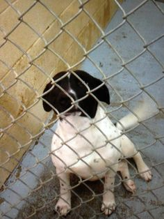 This baby needs out asap! from high kill shelter in shelby nc!.....help this beautiful baby find a home!