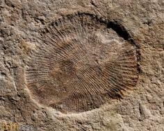 Dickinsonia costata (Sprigg, 1947) Ediacarian Fossils