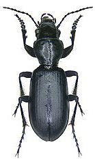 Carabidae Broscus cephalotes (Linn, 1758) (Switzerland)