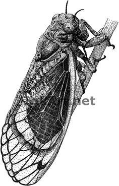 periodical cicada, great stippling
