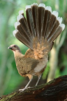 Plain Chachalaca, Ortalis vetula, is a large bird in the Cracidae family. It breeds in tropical and subtropical environments from mezquital thickets in the Rio Grande Valley in southernmost Texas, United States to northernmost Costa Rica.