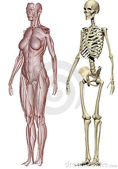 Muscles and skeleton woman