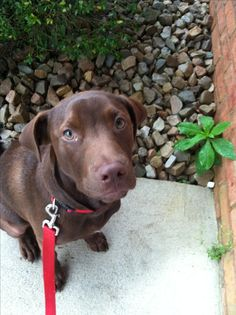 Chocolate lab and pitbull mix=adorable best friend