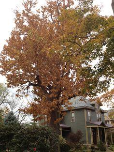 Cucumber Magnolia, Haddonfield NJ. Fall 2012. (Photo by Steve C.)