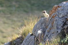 Little Ermin, animal from the Queyras Park of the Southern French Alps, greatly pictured on the lookout from a rock                                                                                                            animals from Queyras France..