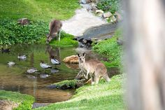 Hello skippy.  @australia @visitgoldcoast @canonaustralia #visitqueensland #thisisqueensland #getlostnow #landscape #topdecker #igersgoldcoast #travel #ducks #birds #currumbinwildlifesanctuary #australiananimals#kangaroo #wildlife#nature#australia#goldcoast #mattrobertsonphotography by mattrobertsonphotography http://ift.tt/1X9mXhV