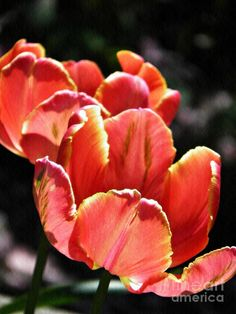Tulips In The Sun by Sarah Loft  ||  Tulips In The Sun Photograph by Sarah Loft https://fineartamerica.com/featured/tulips-in-the-sun-sarah-loft.html?utm_campaign=crowdfire&utm_content=crowdfire&utm_medium=social&utm_source=pinterest