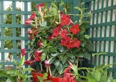 Dipladenia la plante facile à vivre sur http://ift.tt/1TKmnFL