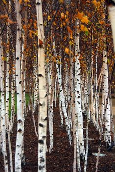 A birch forest: the inspiration for SF Ballet's set for 'The Rite of Spring', intended to represent the beauty Russian landscape that is at odds with the ugliness of the primitive sacrifice onstage.