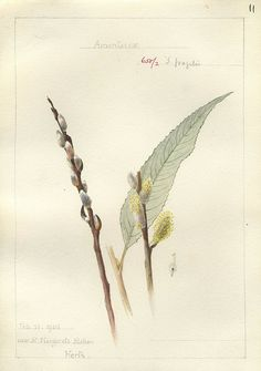 Botanical illustration by Georgina Trower. Salix fragilis, Herts. 1905. via peacay on Flickr