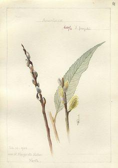 Botanical illustration by Georgina Trower. Salix fragilis, Herts. 1905.