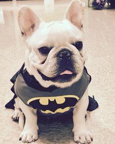 """I am the BatPig"", French Bulldog in Batman Costume"