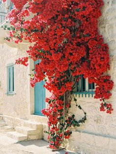 Bougainvillea with turquoise window trim and front door.