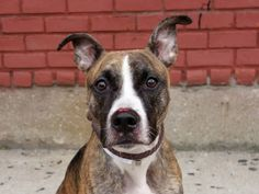 TO BE DESTROYED 10/01/14 - Brooklyn Center   TURBO - A1014693   NEUTERED MALE, BR BRINDLE / WHITE, PIT BULL MIX, 2 yrs OWNER SUR - EVALUATE, HOLD RELEASED Reason CHILDCONFL  Intake condition EXAM REQ Intake Date 09/20/2014, From NY 11206, DueOut Date 09/20/2014,