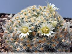 Mammillaria schiedeana: 20 тыс изображений найдено в Яндекс.Картинках