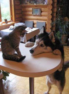 Husky and Cat