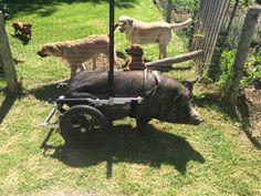 Piggy Sue, a pig in South Africa, showing off her Eddie's Wheels wheelchair.  Eddieswheels.com