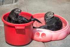 """montereybayaquarium: """" """"If it fits, I sits""""—sea otter edition! Our resident otters regularly enjoy splashing around with the enticing enrichments our aquarists devise for them. The ever-changing landscape of toys to play with and puzzles to solve..."""