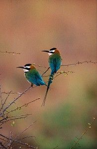 African Bee-Eaters - $0.00