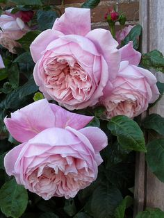 English Rose 'Spirit of Freedom'
