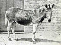 2Sólo un cuaga fue fotografiado, la hembra en la fotografía, en el zoológico de Londres.  En su estado salvaje, el cuaga, una subespecie de la cebra común, se encontraba en grandes números en Suráfrica.  Sin embargo, el cuaga fue llevado a la extinción ya que era cazado por su carne, piel y como alimento para animales domésticos.  El último cuaga salvaje fue cazado en la década de 1970, y el último ejemplar en cautiverio murió en agosto de 1883.