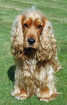 golden cocker spaniel, waiting for his next instruction!: