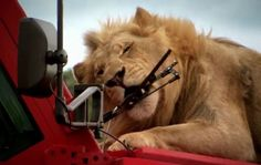 OMG! The 10 ton Marauder vs. LIONS!!! Click to see the winner #TopGear #spon