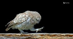 ♪♫♪ I Can't Dance, I Can't Talk, the only thing about me is the way I walk ♫♪♫ (http://youtu.be/sNJVFloPIVA) - Little Owl Juvenile taking a walk across a beam in the Old barn by Steven Ward  on 500px