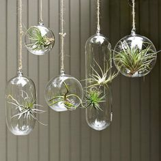 Air plant bubbles designed by Shane Powers for West Elm.