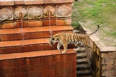 Tiger at Disney's Animal Kingdom - this Magnificent Animal is the Largest of all Cats tami@goseemickey.com