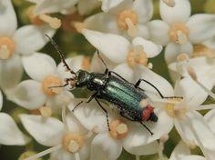 Naturwunder ...: Zipfelkäfer - Malachius bipustulatus