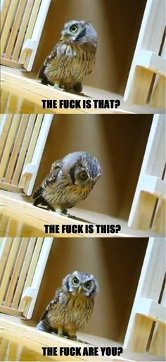 Owls, while apparently vulgar, are quite hilarious.
