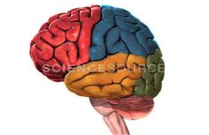 The green part of this picture is the occipital lobe.