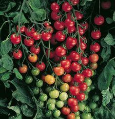 Tiny Tim Sweetie 3 pk Special Heirloom Cherry Tomatoes Cherry Tomato Seeds