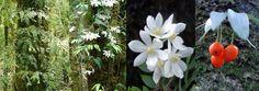 Luzuriaga polyphylla. Philesiaceae, Chile. Evergreen, -10C. Epiphyte. Self Adhesive. Flowers: Summer. http://apuntesbotanicos.blogspot.com