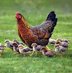Chickens are happier than people. Why don't we can feel like them? Beautiful Chickens, Beautiful Birds, Animals Beautiful, Farm Animals, Animals And Pets, Cute Animals, Wild Animals, Chickens And Roosters, Chicken Breeds